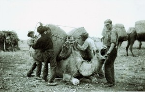 Camel being loaded_web 450