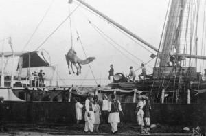 CamelsUnloading - Port -Augusta 1920_